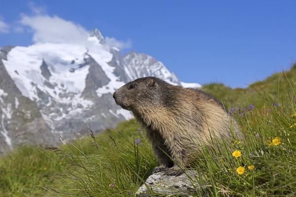 Alpine Marmot in the Hohe Tauern Canvas Print by Arterra