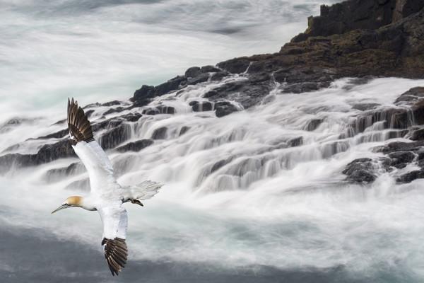 Gannet Soaring along Scottish Coast Canvas Print by Arterra