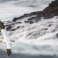 Buy canvas prints of Gannet Soaring along Scottish Coast by Arterra