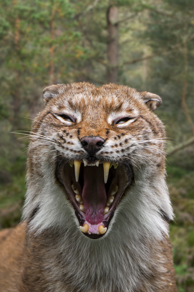 Hissing Lynx in Forest Canvas Print by Arterra