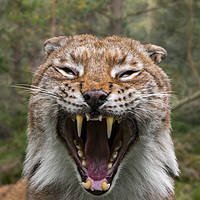 Buy canvas prints of Hissing Lynx in Forest by Arterra