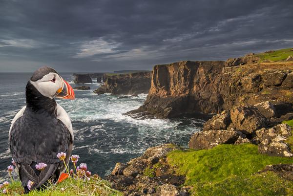 Puffin Watching Shetland Coast Canvas print by Arterra