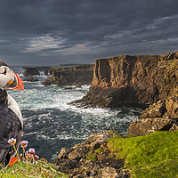 Buy canvas prints of Puffin Watching Shetland Coast by Arterra