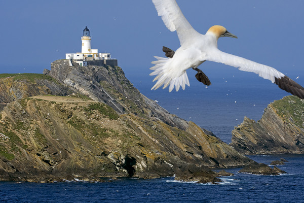 Muckle Flugga Lighthouse and Gannet, Shetland Canvas Print by Arterra