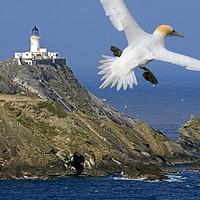 Buy canvas prints of Muckle Flugga Lighthouse and Gannet, Shetland by Arterra