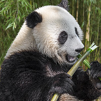 Buy canvas prints of Cute Panda Bear Eating Bamboo in Forest by Arterra