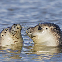 Buy canvas prints of Two Common Seals by Arterra