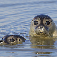 Buy canvas prints of Two Harbour Seals by Arterra