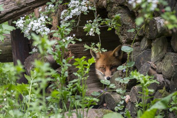Hidden Red Fox Canvas print by Arterra