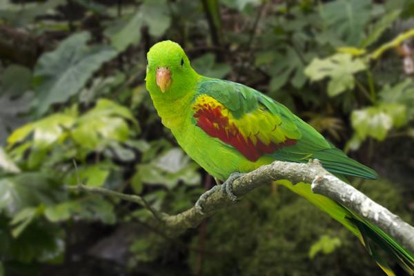 Jonquil Parrot Canvas Print by Arterra