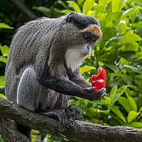 Buy canvas prints of De Brazza's Monkey by Arterra