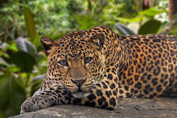Sleepy Leopard Canvas print by Arterra