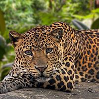 Buy canvas prints of Sleepy Leopard by Arterra