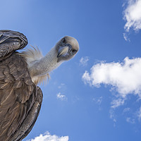 Buy canvas prints of Griffon Vulture by Arterra