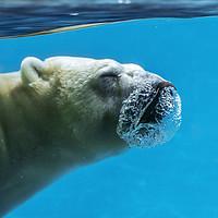 Buy canvas prints of Polar Bear Diving by Arterra