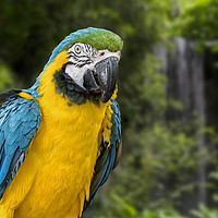Buy canvas prints of Blue-and-Yellow Macaw by Arterra