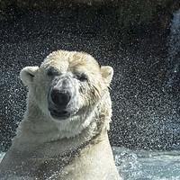 Buy canvas prints of Polar Bear Shaking Head by Arterra