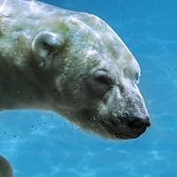 Buy canvas prints of Polar Bear Swimming Underwater by Arterra