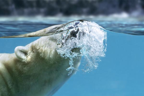 Polar Bear Surfacing Canvas print by Arterra