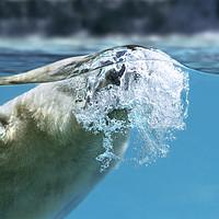 Buy canvas prints of Polar Bear Surfacing by Arterra