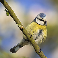 Buy canvas prints of Blue Tit in Spring by Arterra