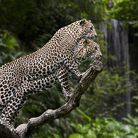 Buy canvas prints of Leopards in Rain Forest by Arterra