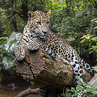 Buy canvas prints of Leopard in the Jungle by Arterra