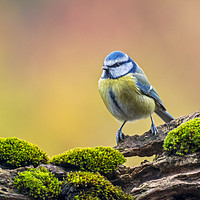 Buy canvas prints of Blue Tit by Arterra
