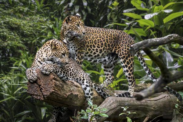 Sri Lankan Leopard Couple Canvas print by Arterra