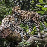 Buy canvas prints of Sri Lankan Leopard Couple by Arterra