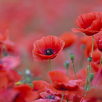 Buy canvas prints of Flanders Poppies by Arterra