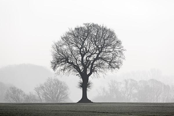 English Oak Tree in Mist Canvas Print by Arterra