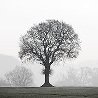 Buy canvas prints of English Oak Tree in Mist by Arterra