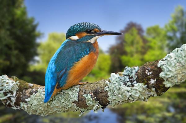 Common Kingfisher Framed Print by Arterra