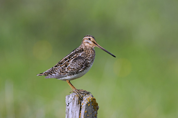Common Snipe Acrylic by Arterra