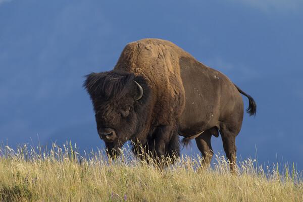 American Bison Print by Arterra