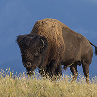 Buy canvas prints of American Bison by Arterra