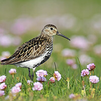 Buy canvas prints of Dunlin among Sea Thrift in Summer by Arterra