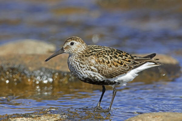 Dunlin in Breeding Plumage in Summer Acrylic by Arterra