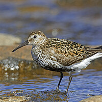Buy canvas prints of Dunlin in Breeding Plumage in Summer by Arterra
