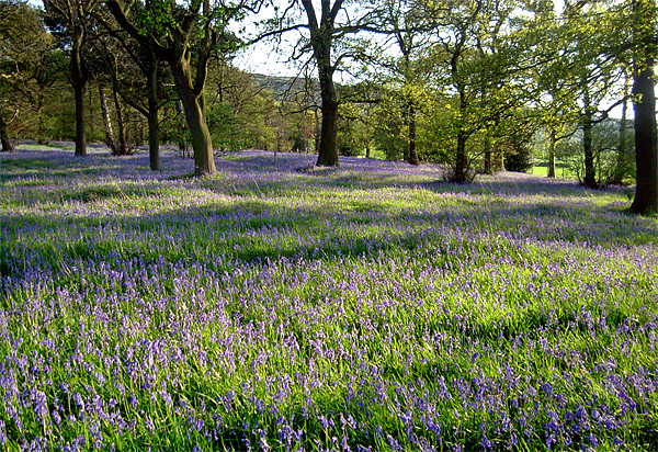 Bluebell Woods, Ilkley, Yorkshire Canvas print by Jim Round