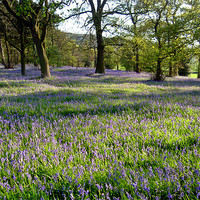 Buy canvas prints of Bluebell Woods, Ilkley, Yorkshire by Jim Round