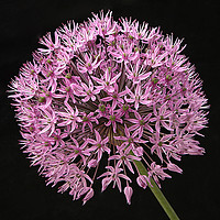 Buy canvas prints of Allium flower against a black background by Jonathon Cuff