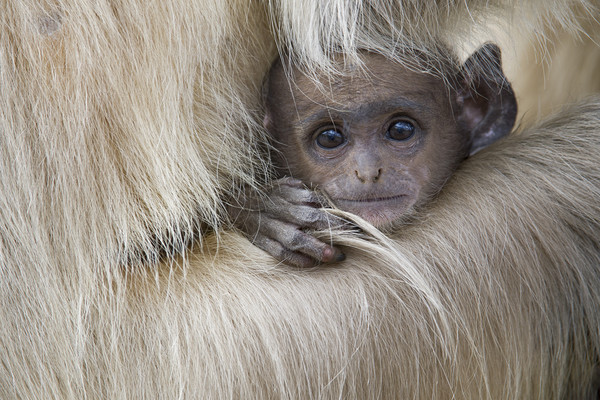 Baby Langur Monkey Framed Print by Janette Hill