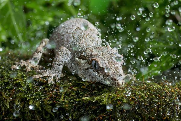 Gargoyle Gecko in Rain Canvas print by Janette Hill
