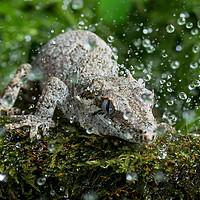 Buy canvas prints of Gargoyle Gecko in Rain by Janette Hill