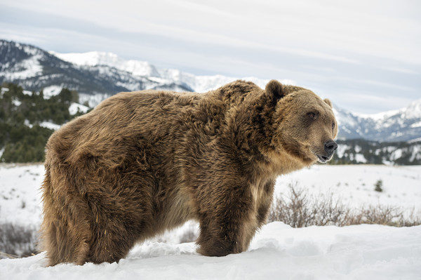 Grizzly Bear Canvas print by Janette Hill