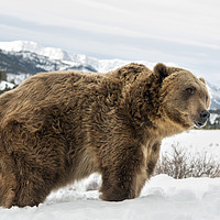 Buy canvas prints of Grizzly Bear by Janette Hill
