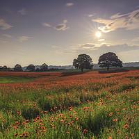Buy canvas prints of A Field full of poppy's  by John Carson