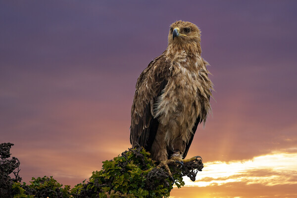 African Tawny Eagle Canvas Print by Stephen Smith